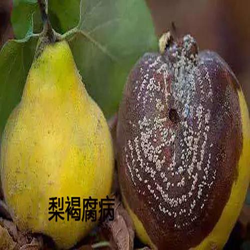 梨褐腐病-奇红早酥梨