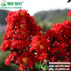 彩化园林景观新品种-赤红紫叶紫薇的多样化用途