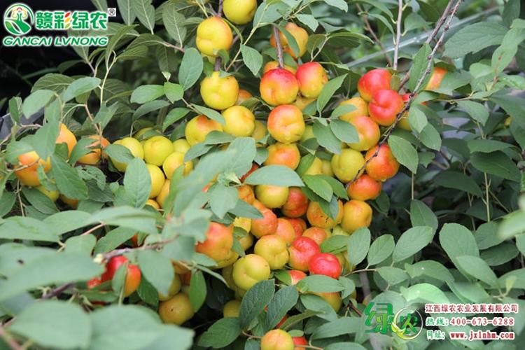 钙果-补钙效果好的水果之王