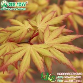 三季黄叶枫树-金桂黄枫虫害的防与治