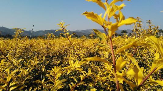 新品种彩叶绿化树黄金枸骨的造景与应用