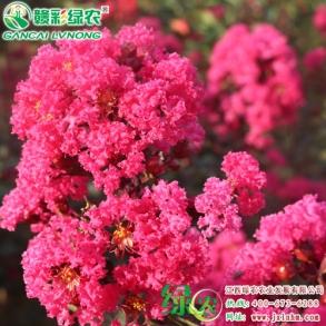美国天鹅绒紫薇——景观紫薇花海优选品种