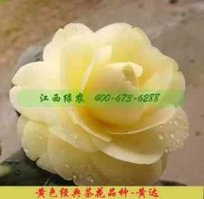 黄达茶花煤烟病防治方法