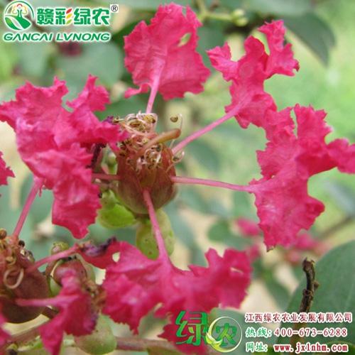 美国红叶紫薇(天鹅绒)