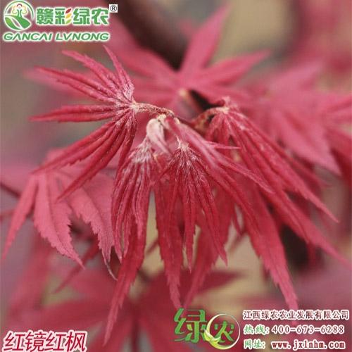 日本红枫——红镜
