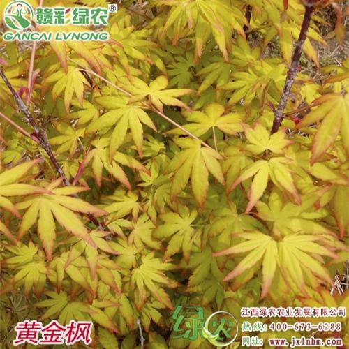 日本红枫——黄金枫