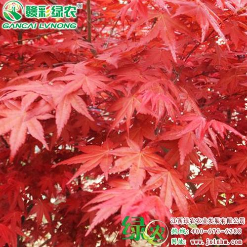日本红枫——红舞姬