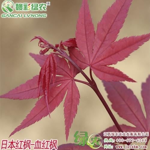 日本红枫——血红枫