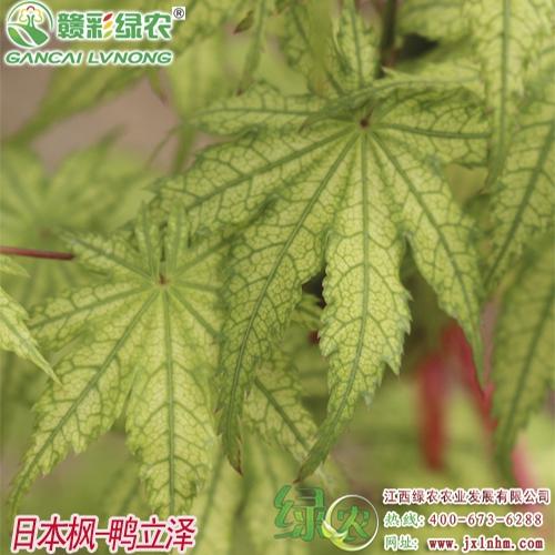 日本枫——鸭立泽