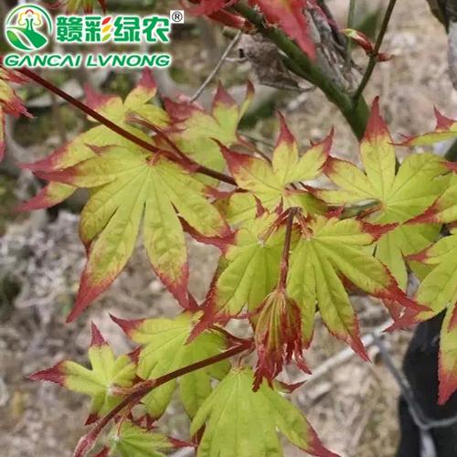 日本红枫扇爪柿