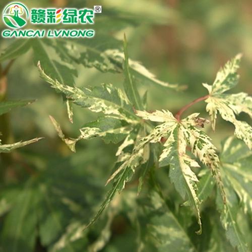 日本红枫羽前锦
