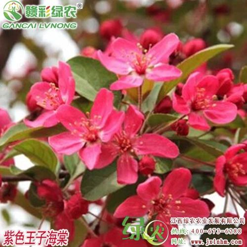 紫色王子海棠