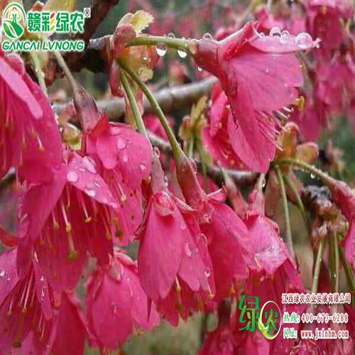 台湾钟樱花
