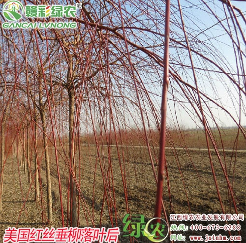 美国红丝垂柳