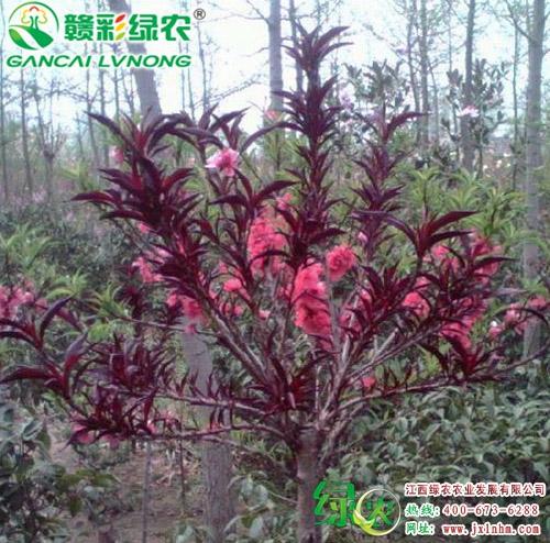 红伞寿星桃