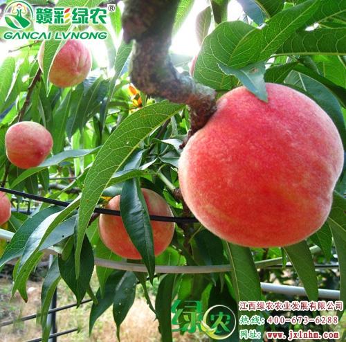 薄岭红蜜桃