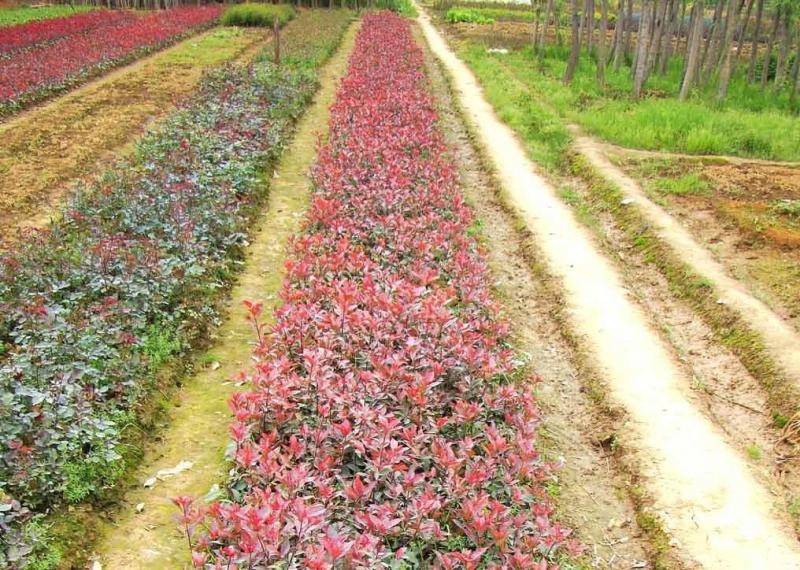 火红紫叶紫薇在彩化园林景观中的多样化用途