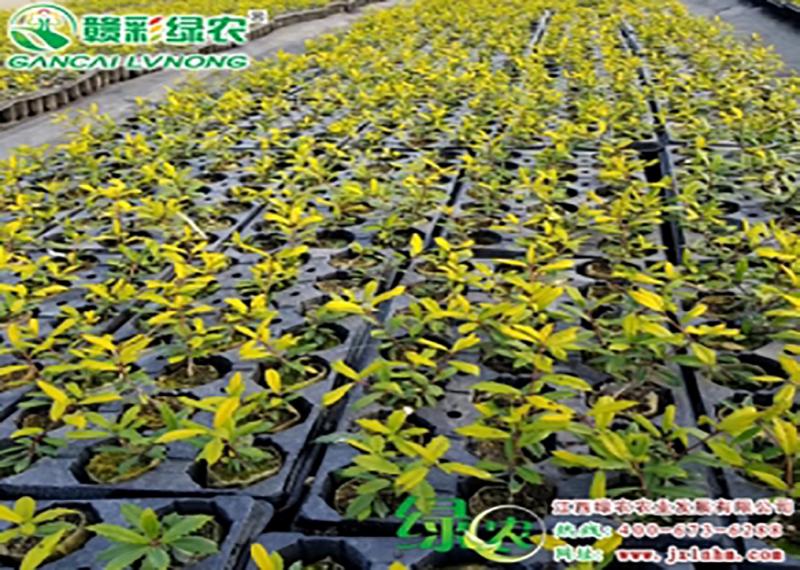 如何做好彩叶绿化树新品种黄金枸骨的白粉病的防治